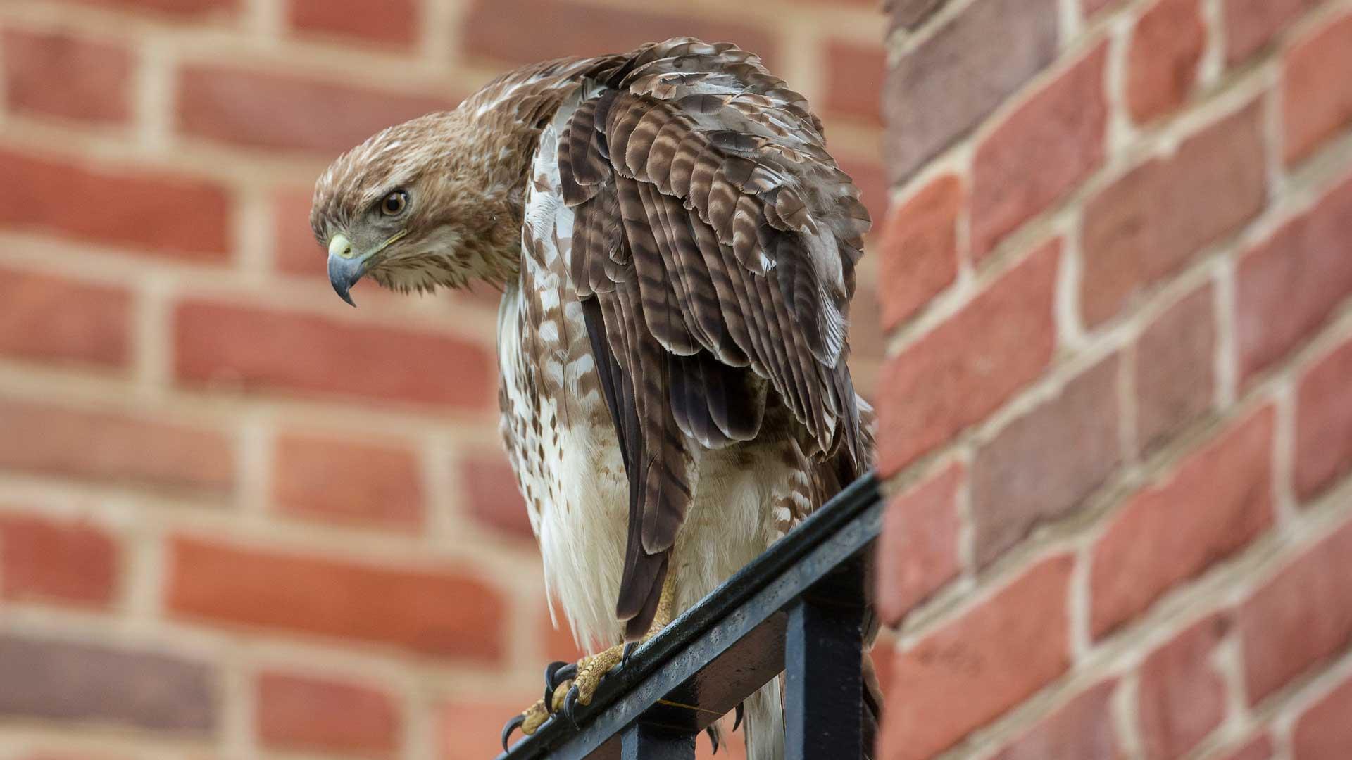 Hawk on Furman